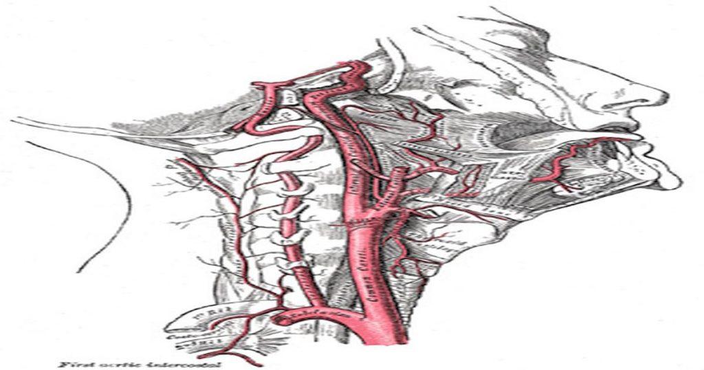Die hirnversorgenden Arterien, die bei einem Einrenken zu einem Schlaganfall führen können.
